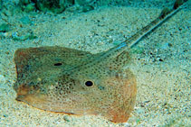 Image of Raja miraletus (Brown ray)