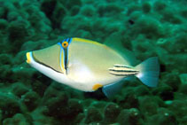 Image of Rhinecanthus assasi (Picasso triggerfish)