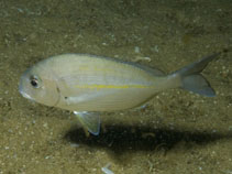 Image of Rhabdosargus holubi (Cape stumpnose)