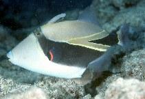 Image of Rhinecanthus rectangulus (Wedge-tail triggerfish)