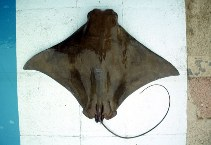 Image of Rhinoptera steindachneri (Pacific cownose ray)