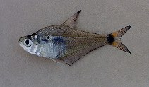 Image of Roeboides descalvadensis (Parana scale-eating characin)