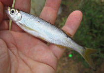 Image of Salmophasia acinaces (Silver razorbelly minnow)