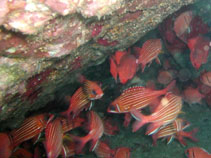Image of Sargocentron hastatum (Red squirrelfish)