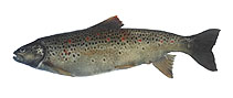Image of Salmo letnica (Ohrid trout)