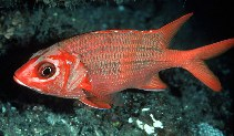 Image of Sargocentron tiere (Blue lined squirrelfish)