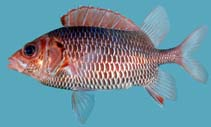 Image of Sargocentron violaceum (Violet squirrelfish)