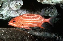Image of Sargocentron xantherythrum (Hawaiian squirrelfish)