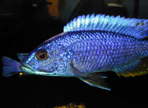Image of Sciaenochromis ahli (Electric blue hap)