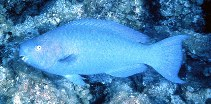 Image of Scarus coeruleus (Blue parrotfish)