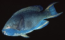 Image of Scarus falcipinnis (Sicklefin parrotfish)