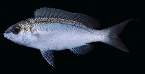 Image of Scolopsis frenata (Bridled monocle bream)