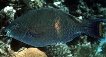 Image of Scarus fuscopurpureus (Purple-brown parrotfish)
