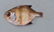 Image of Scorpis georgiana (Banded sweep)