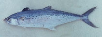 Image of Scomberomorus guttatus (Indo-Pacific king mackerel)
