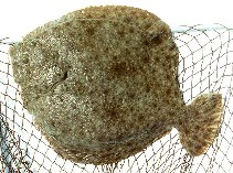 Image of Scophthalmus maximus (Turbot)