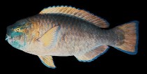 Image of Scarus ovifrons (Knobsnout parrotfish)