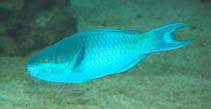 Image of Scarus oviceps (Dark capped parrotfish)