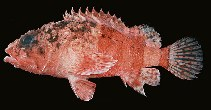 Image of Scorpaenodes parvipinnis (Lowfin scorpionfish)