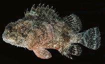 Image of Parascorpaena picta (Northern scorpionfish)