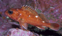 Image of Sebastes capensis (Cape redfish)