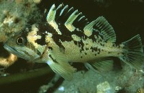 Image of Sebastes chrysomelas (Black-and-yellow rockfish)