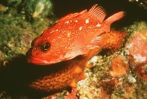 Image of Sebastes constellatus (Starry rockfish)