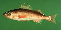 Image of Sebastes jordani (Shortbelly rockfish)