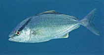 Image of Seriola rivoliana (Longfin yellowtail)
