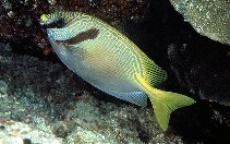 Image of Siganus doliatus (Barred spinefoot)