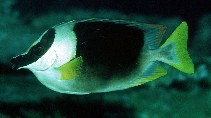 Image of Siganus magnificus (Magnificent rabbitfish)