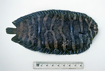 Image of Soleichthys microcephalus (Smallhead sole)