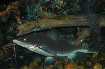 Image of Sperata aor (Long-whiskered catfish)