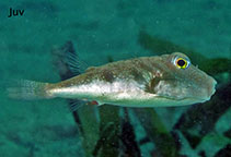 Image of Sphoeroides nephelus (Southern puffer)