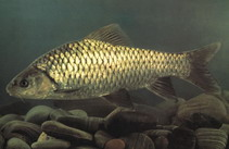 Image of Spinibarbus sinensis