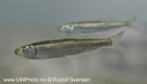 Image of Sprattus sprattus (European sprat)