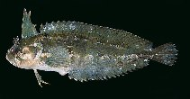 Image of Springeratus xanthosoma (Indonesia weedfish)