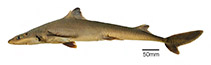 Image of Squalus bahiensis (Northeastern Brazilian dogfish)