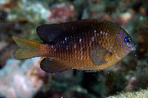 Image of Stegastes adustus (Dusky damselfish)