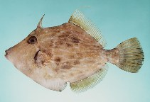 Image of Stephanolepis diaspros (Reticulated leatherjacket)