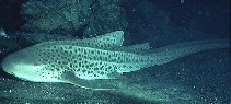 Image of Stegostoma fasciatum (Zebra shark)