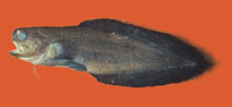 Image of Stygnobrotula latebricola (Black brotula)