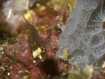 Image of Starksia ocellata (Checkered blenny)