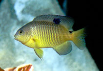 Image of Stegastes variabilis (Cocoa damselfish)