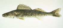 Image of Sander vitreus (Walleye)