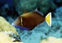 Image of Sufflamen chrysopterum (Halfmoon triggerfish)