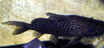 Image of Synodontis comoensis