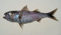Image of Synagrops japonicus (Blackmouth splitfin)
