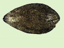 Image of Synaptura marginata (White-margined sole)