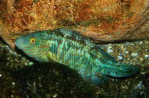 Image of Symphodus melops (Corkwing wrasse)
